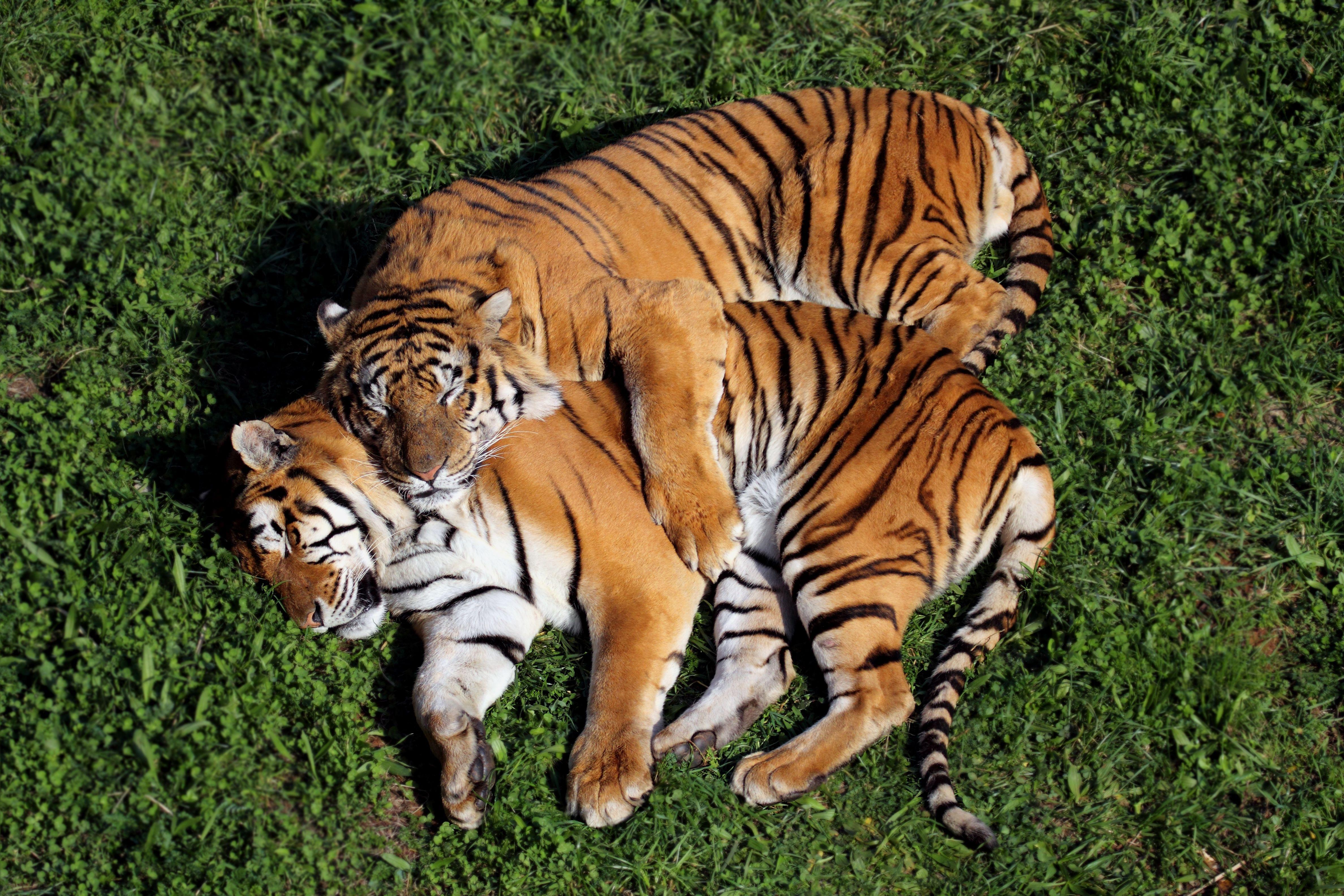 czy tygrysy mają dużego penisa gorące kobiety heban nago